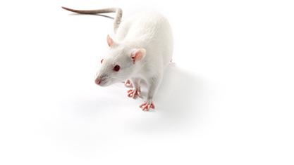 Лабораторная крыса Sprague-Dawley, по Кэмпбеллу, – почти человек
